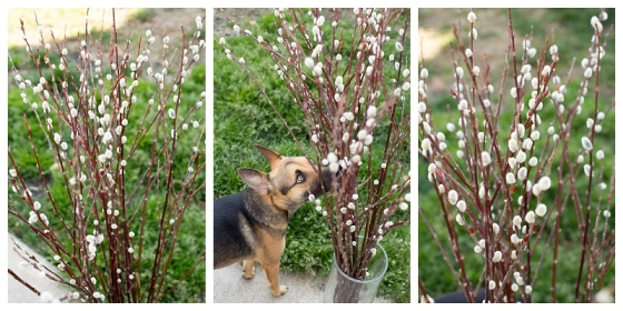 Rex was just so fascinated by these pussywillows!!